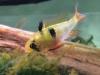 Ramirezi mikrogeophagus ramirezi