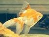 poisson japonais