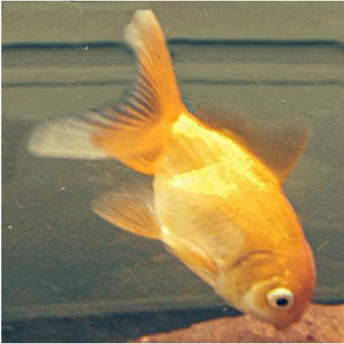 poisson rouge carassius auratus