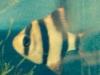 barbus de sumatra puntius tétrazona